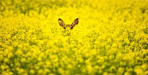 Deer in Canola Field - Fine Art Photography