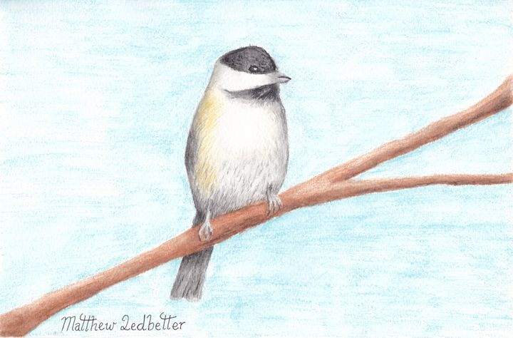 black capped Chickadee - Matthew Ledbetter