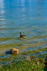 Canada Goose At Rest