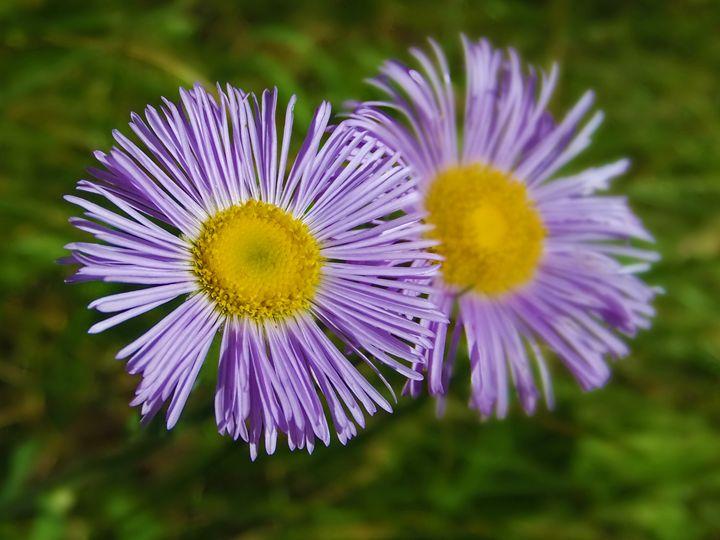 Two Purple Flowers - Tony Alexander Photography