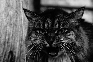 Persian Cat Hiss