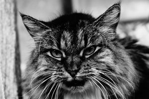 long hair cat black and white