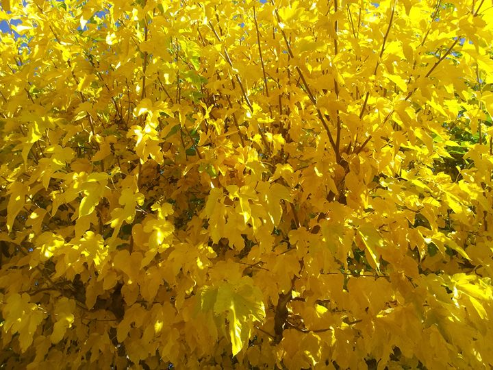 Yellow Fall - Pacific Yellow