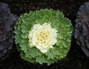 Decortative Cabbage