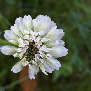 Clover Flower, White