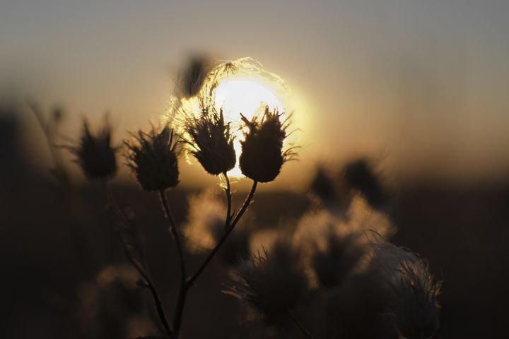 fluffy weed at sunset - Vlad Baciu Photography