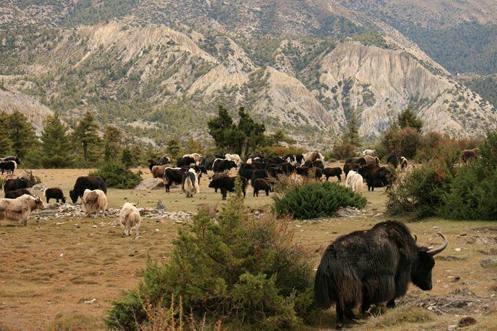 A herd of Yaks, Northern Nepal. - Dano Vukicevich Photography