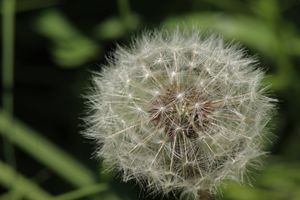 Some see a weed, others see a wish