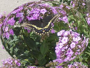 Butterfly in Phlox Globe