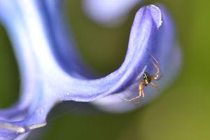 Incy wincy bluebell