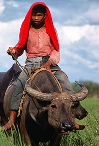 Rice Farmer Rides Water Buffalo