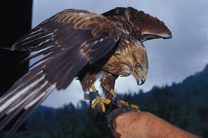 Falcon - Carl Purcell - Global Photography