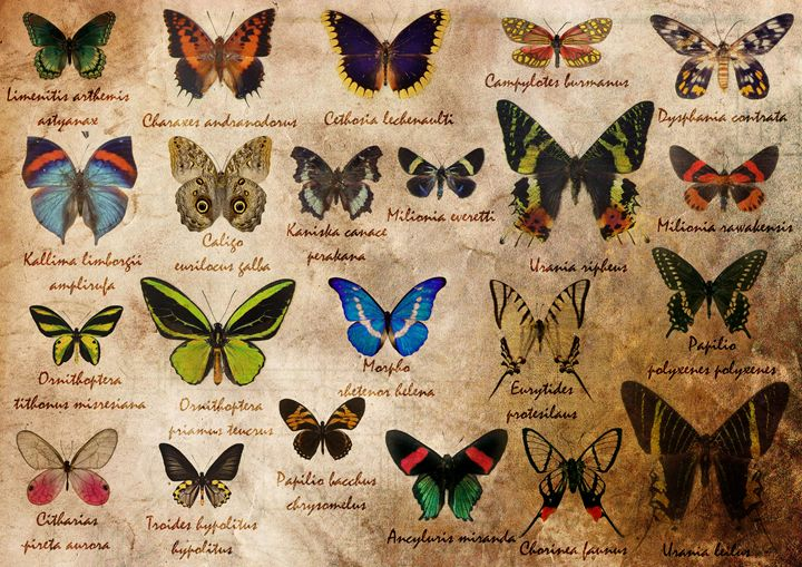 Butterfly ancient collection - Gabriele Argento