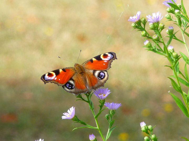 Butterfly on Michalmas daisy - Sheilah's Art