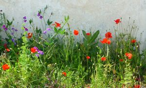 Wild flowers on Ile de Re, France