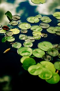 Lilypads in Pond
