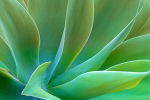 Sensual Curves Of Agave Attenuate