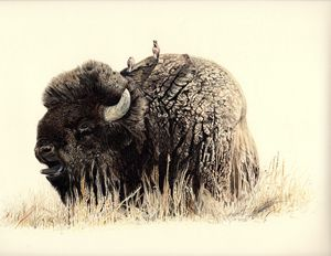 Bellowing Bison