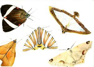 Costa Rican Moths