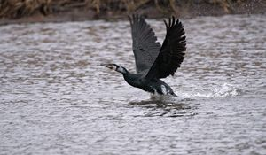 Cormorant Take Off