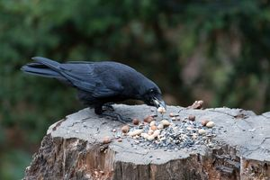Carrion Crow going Nuts