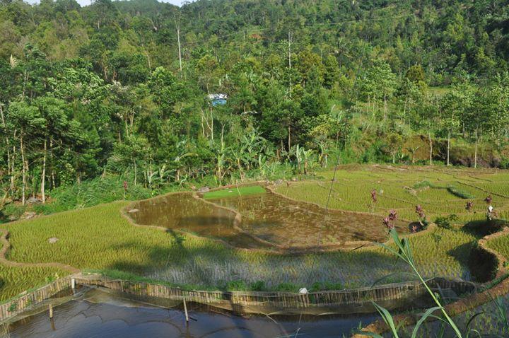 Ricefield in Central Java - Kwazen Gallery