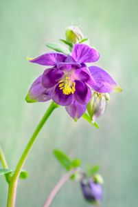 Aquilegia — elf's flower