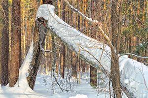 Winter. Forest. Broken tree