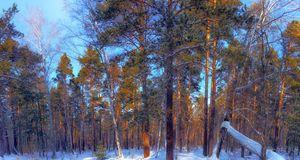Winter. Forest. Sunlight