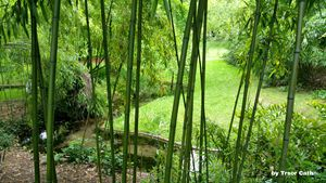 Bamboo in a park