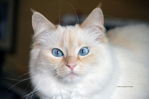 Molly the Ragdoll