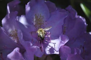 Honey Bee Pollen