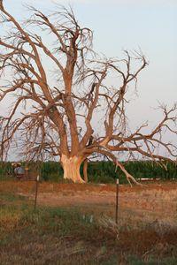 The Wilting Tree