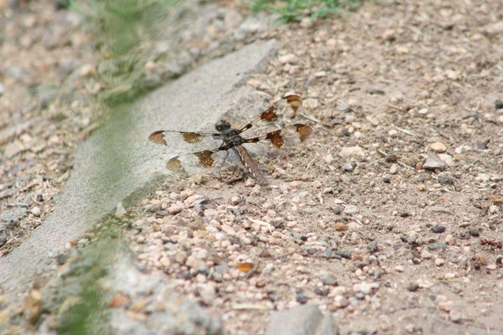 Dragonfly - Leeora's Photography