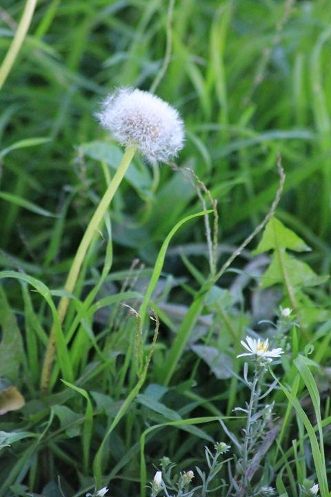 Dandelions - Leeora's Photography