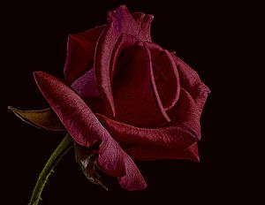 Single Red Rose of Love