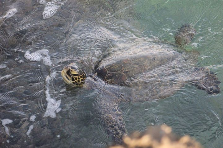 Hawaiian turtle - Jacqueline Borck