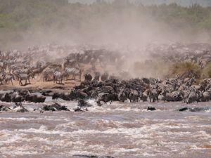 The Great Masai Mara Migration - Peter Rowe