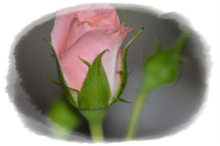 Faded Rosebud - LynneE