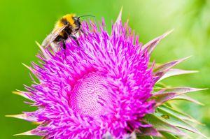 Bee on a flower - Gabor Szabo photography