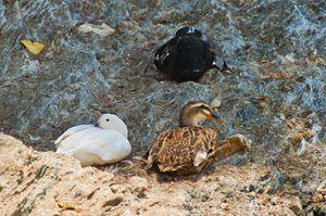 3 duck resting