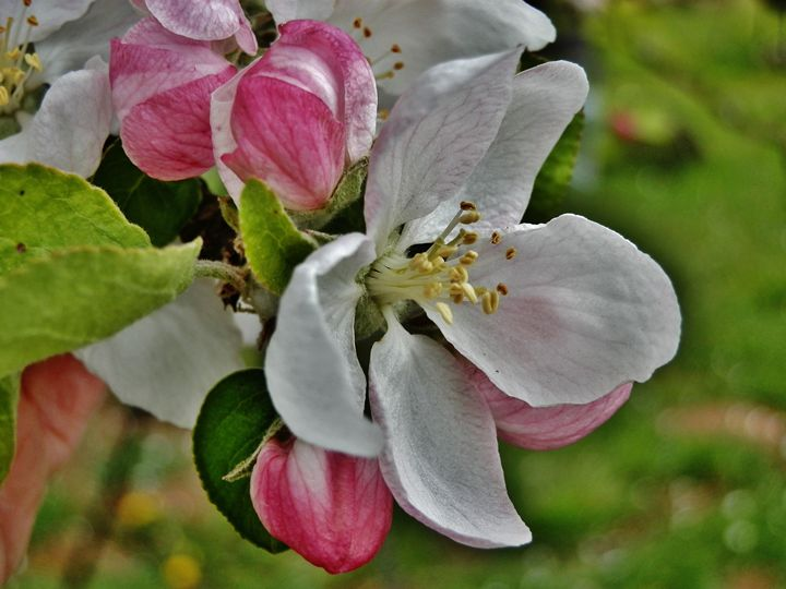 APPLE BLOSSOMS 1 - VLeeORIGINALS