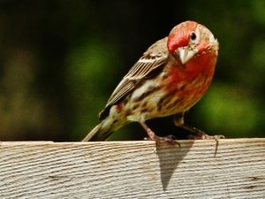 LOVE A HOUSE FINCH