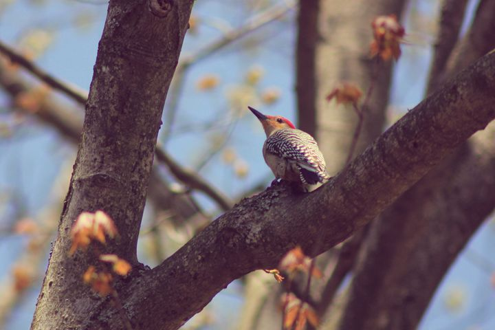 Resting-Woodpecker - phos illuminare