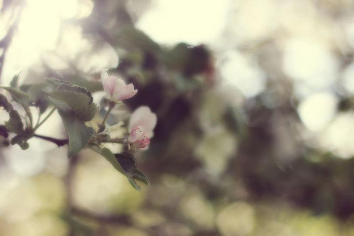 Apple in Bloom - phos illuminare