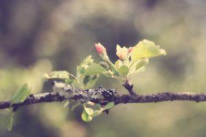 Apple in Bloom 4