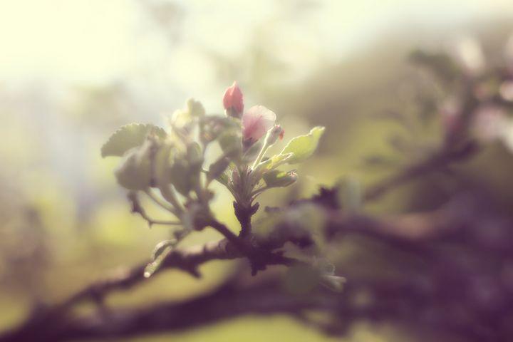 Apple in Bloom 3 - phos illuminare