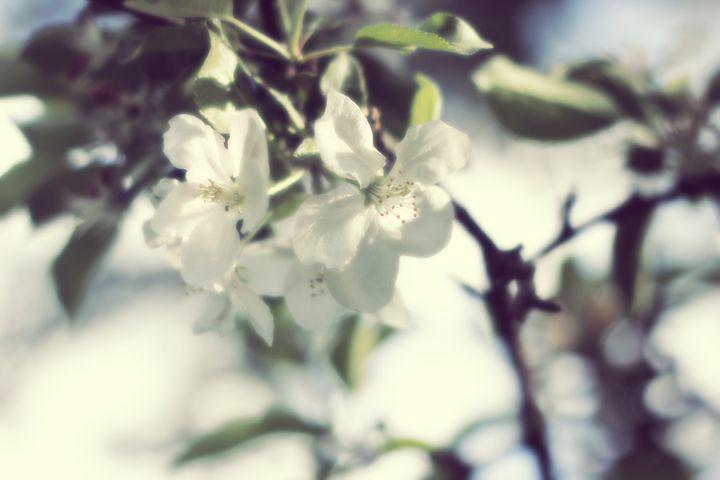 Apple in Bloom 6 - phos illuminare