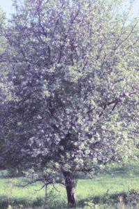 Apple in Bloom 7