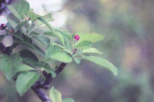 Apple in Bloom 8